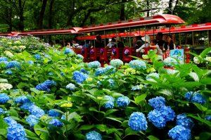 Top Hydrangea Spots Around Tokyo